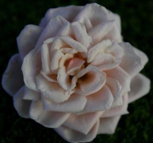 """""""Rose""""; digital, 2015"""